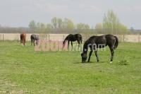 09042010_ergela_i_konjicki_klub_spar_konjogojstvo_konji_bjelovar_fotosasa_cetkovic_