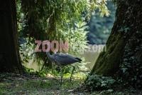 caplja_ptica_iz_reda_rodarica,_pelikanka